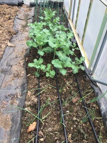 Tunnel test bed with new drip irrigation