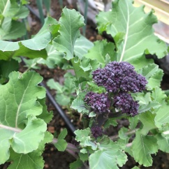 Purple sprouted broccoli emerging