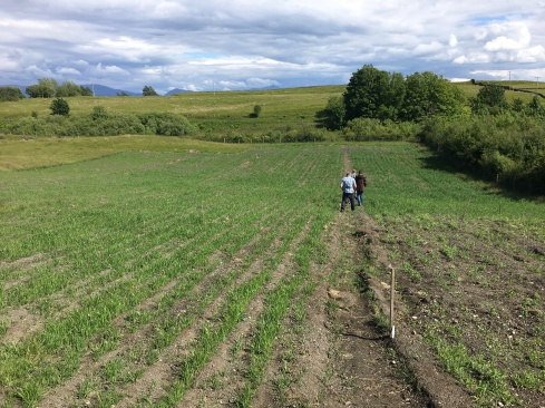 Intercropping Grain trials at Baleveolan Croft