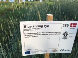 Blue Spring Rye